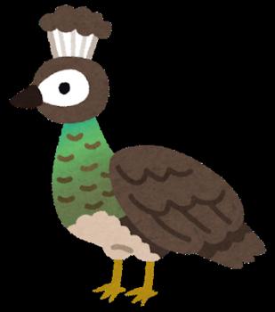 bird_kujaku_mesu.png